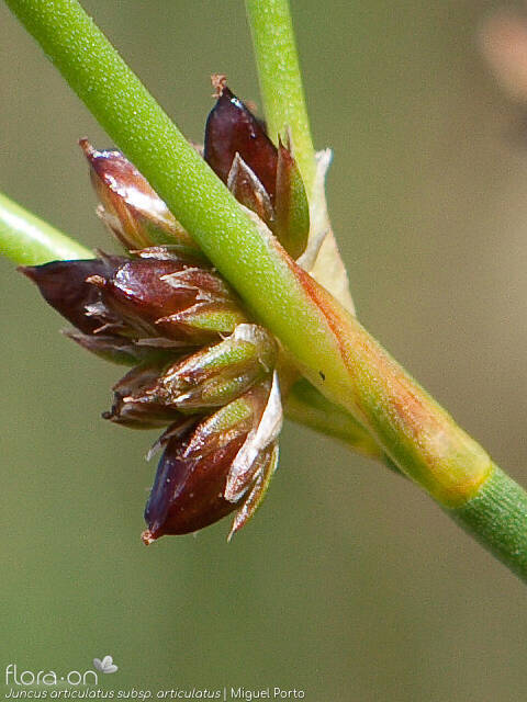 Juncus articulatus articulatus - Flor (close-up) | Miguel Porto; CC BY-NC 4.0