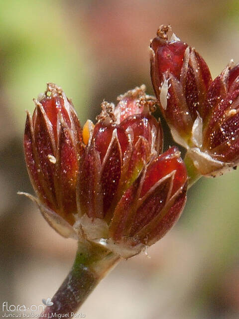 Juncus bulbosus - Flor (close-up) | Miguel Porto; CC BY-NC 4.0
