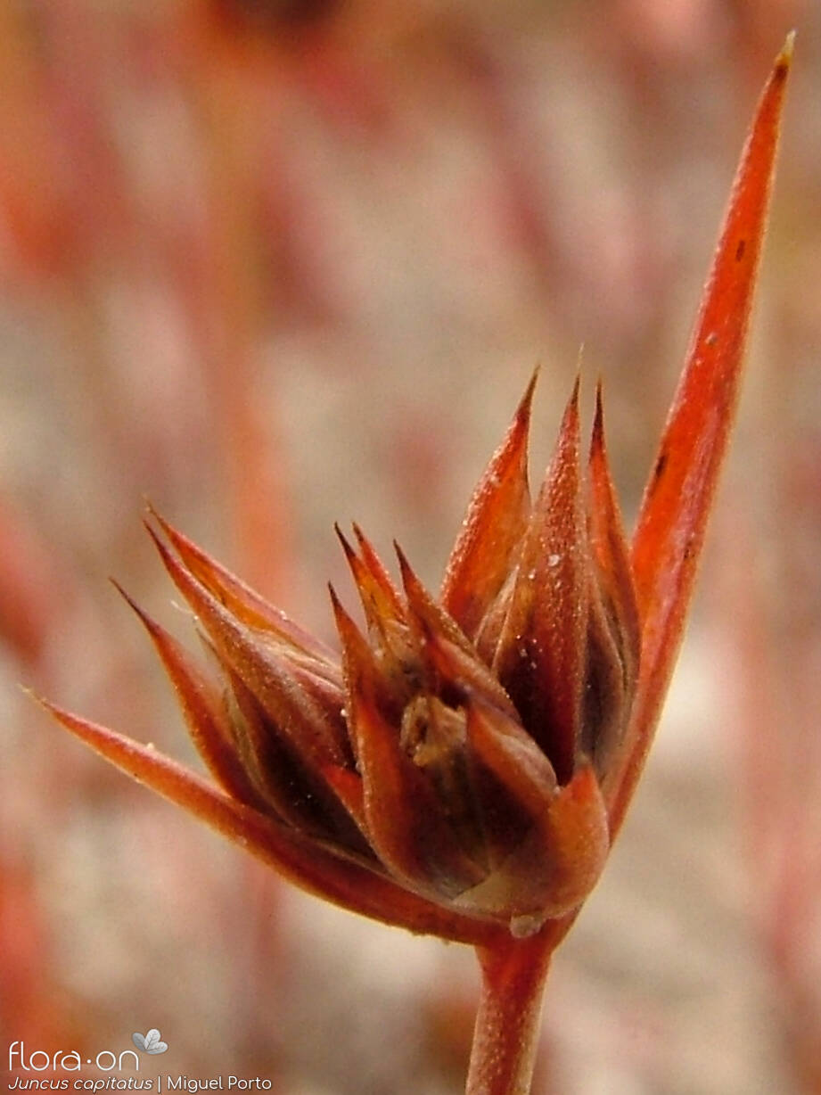 Juncus capitatus - Flor (close-up) | Miguel Porto; CC BY-NC 4.0