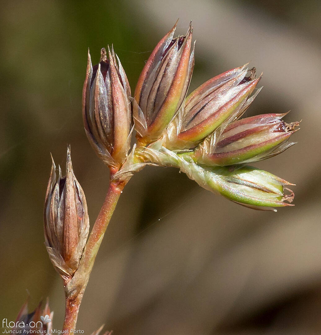 Juncus hybridus - Flor (close-up) | Miguel Porto; CC BY-NC 4.0