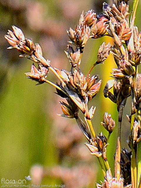 Juncus maritimus - Flor (close-up) | Paulo Ventura Araújo; CC BY-NC 4.0