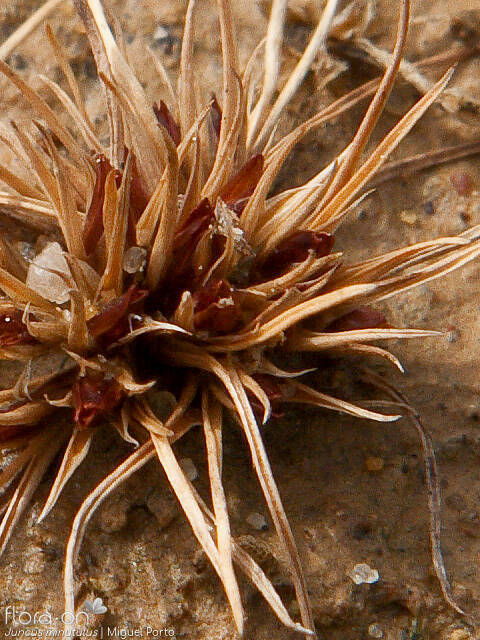Juncus minutulus - Flor (close-up) | Miguel Porto; CC BY-NC 4.0