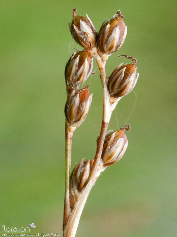 Juncus squarrosus - Flor (close-up) | Miguel Porto; CC BY-NC 4.0