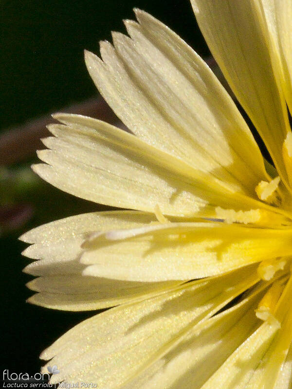 Lactuca serriola - Flor (close-up) | Miguel Porto; CC BY-NC 4.0