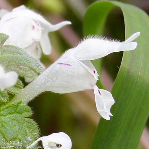 Lamium bifidum - Flor (close-up) | Francisco Clamote; CC BY-NC 4.0