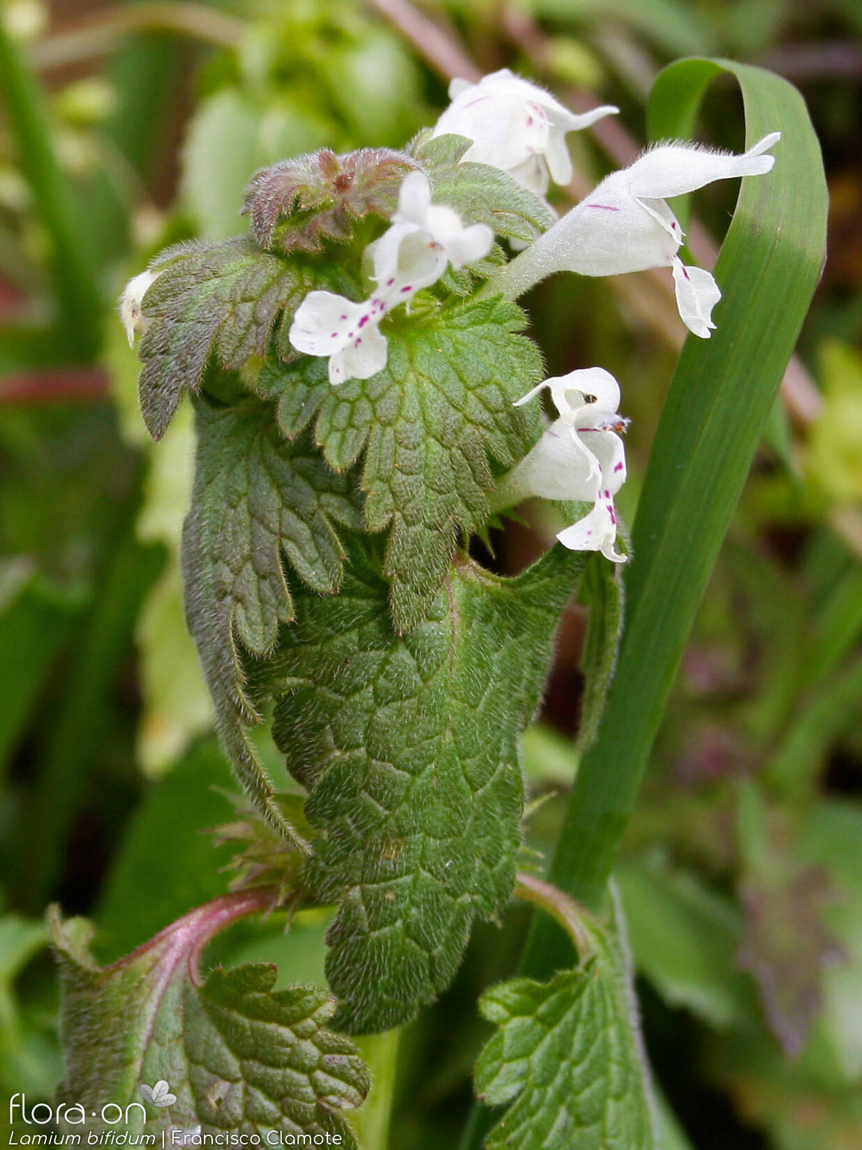 Lamium bifidum - Flor (geral) | Francisco Clamote; CC BY-NC 4.0