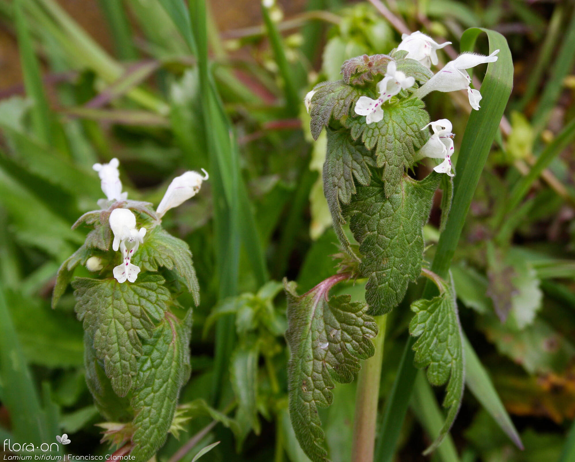 Lamium bifidum - Hábito | Francisco Clamote; CC BY-NC 4.0