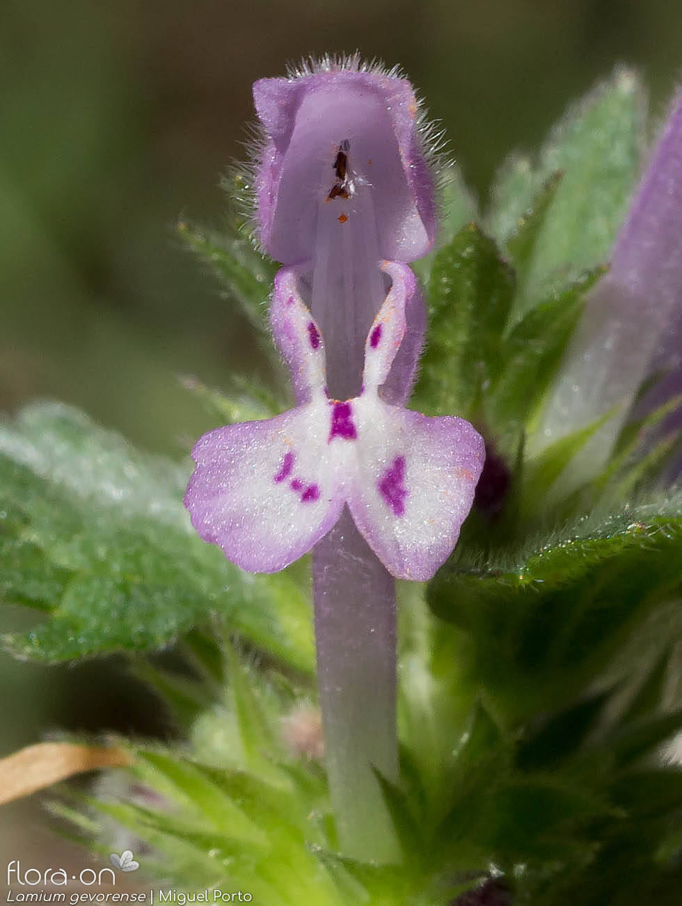 Lamium gevorense - Flor (close-up) | Miguel Porto; CC BY-NC 4.0