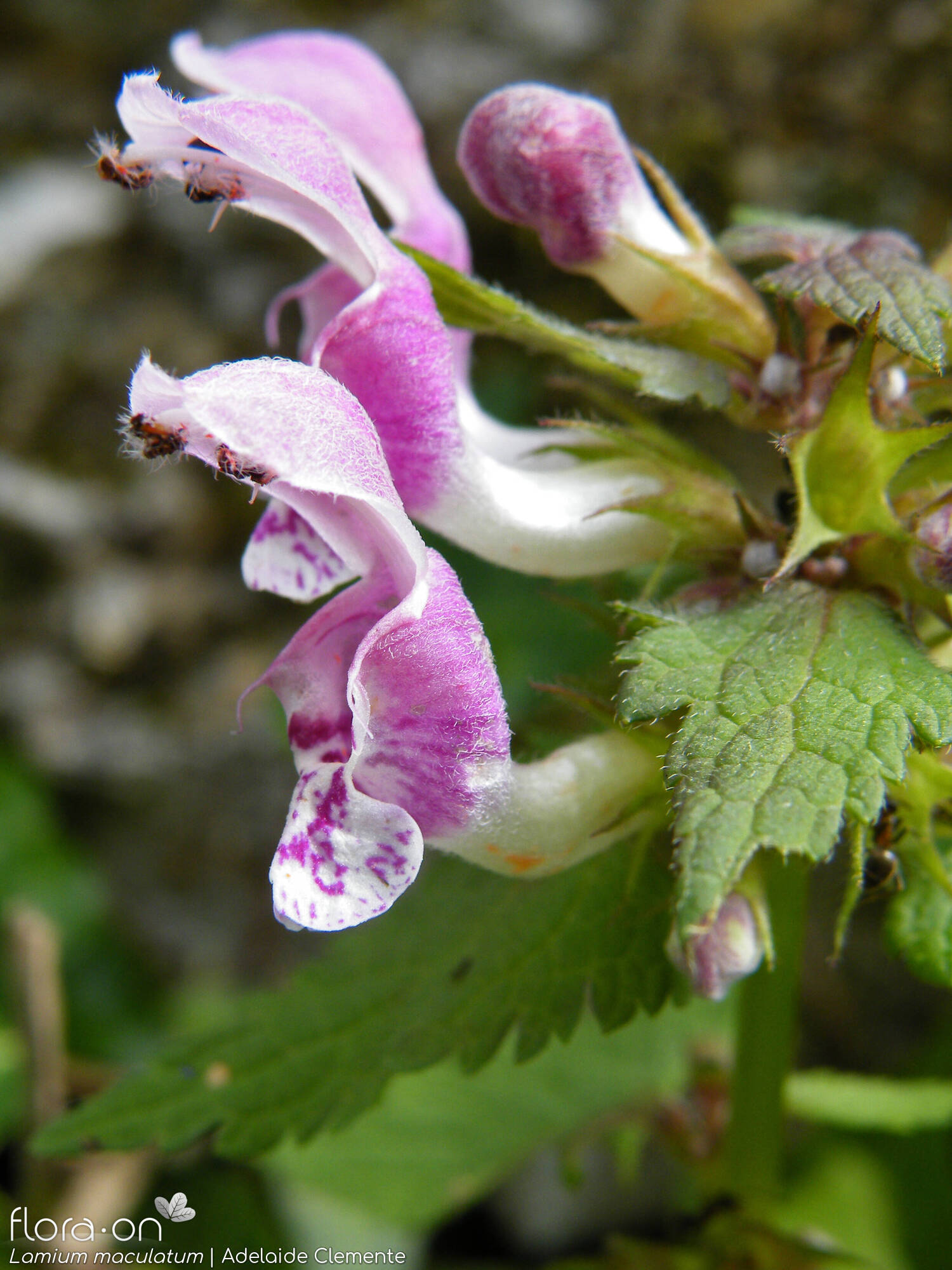 Lamium maculatum - Flor (close-up) | Adelaide Clemente; CC BY-NC 4.0