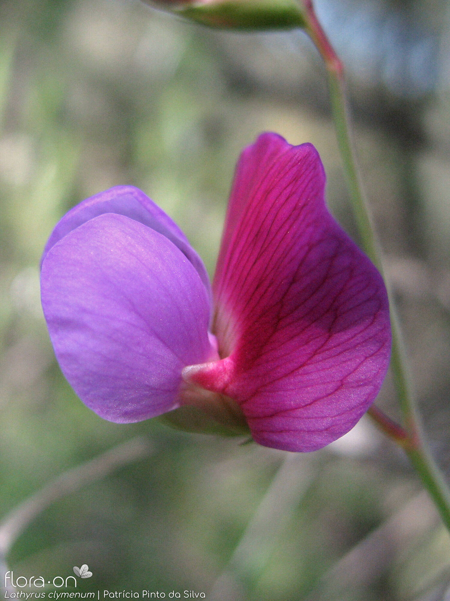 Lathyrus clymenum - Flor (close-up) | Patrícia Pinto Silva; CC BY-NC 4.0