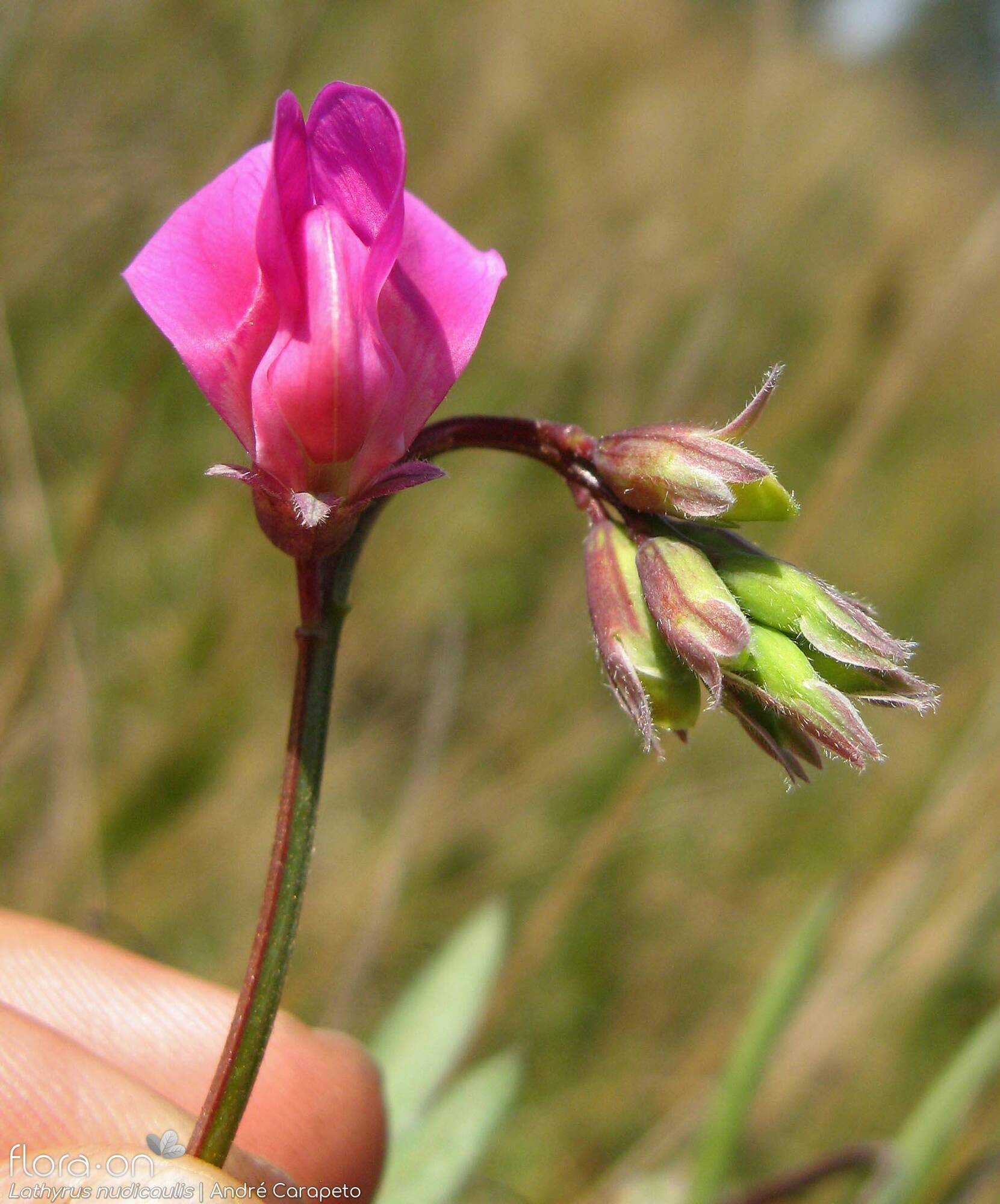 Lathyrus nudicaulis - Flor (close-up) | André Carapeto; CC BY-NC 4.0
