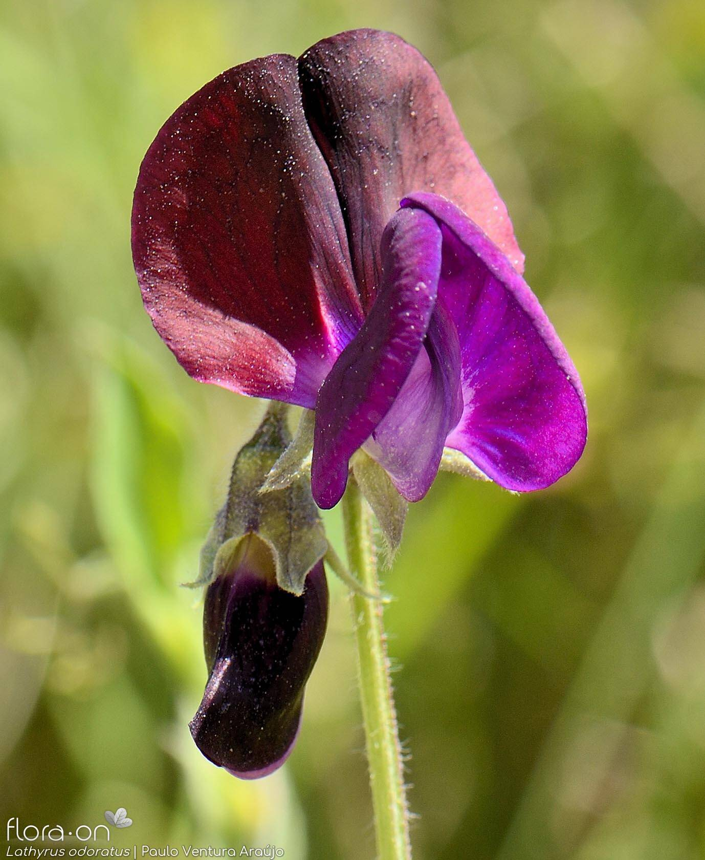 Lathyrus odoratus - Flor (close-up) | Paulo Ventura Araújo; CC BY-NC 4.0