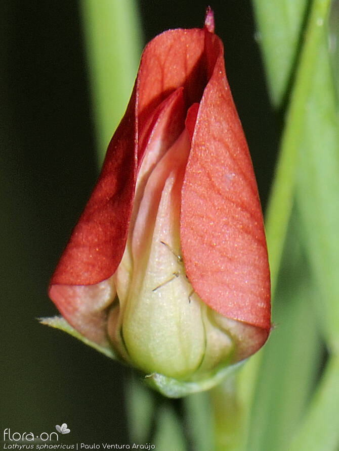 Lathyrus sphaericus - Flor (close-up) | Paulo Ventura Araújo; CC BY-NC 4.0