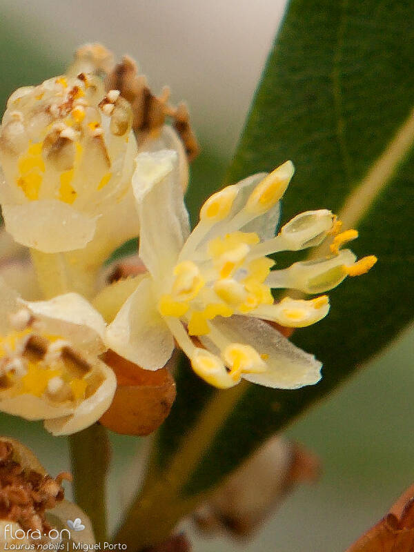 Laurus nobilis - Flor (close-up) | Miguel Porto; CC BY-NC 4.0