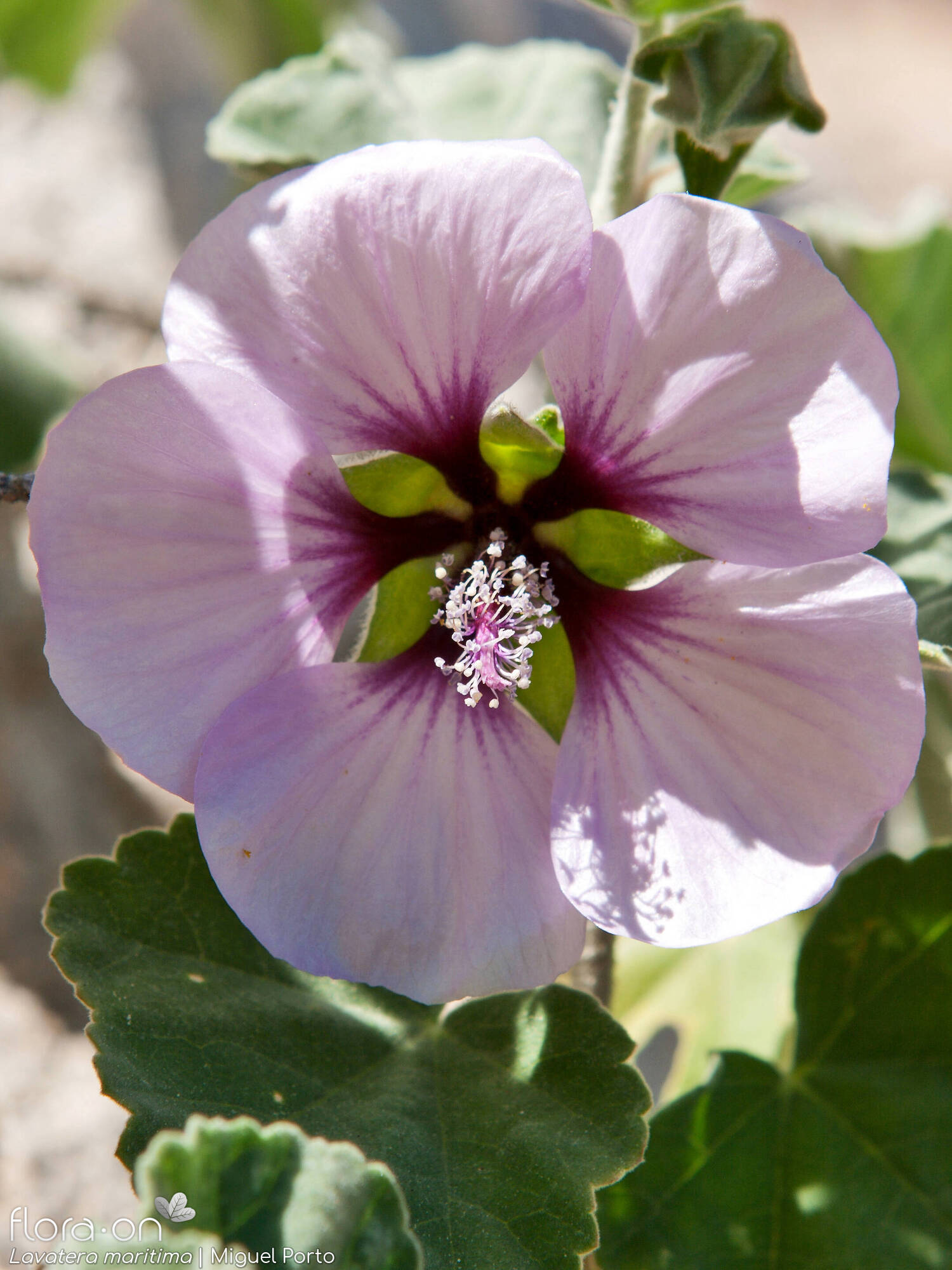 Lavatera maritima - Flor (close-up) | Miguel Porto; CC BY-NC 4.0