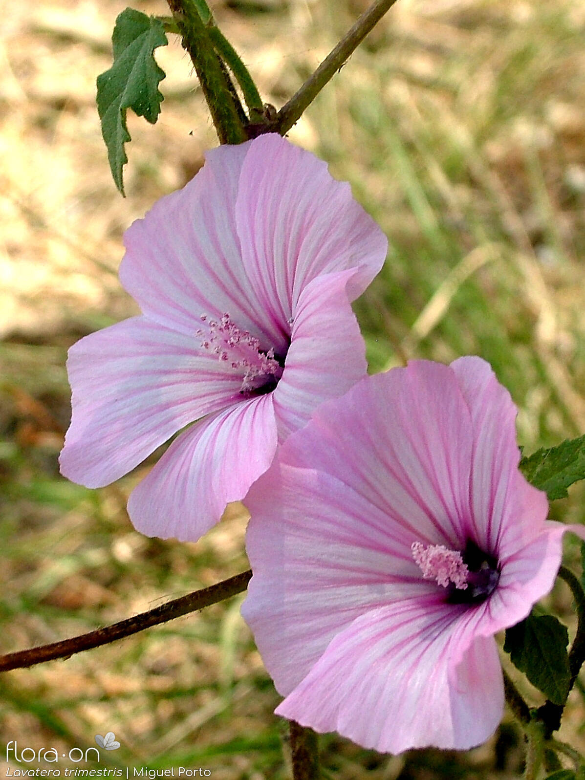 Lavatera trimestris - Flor (close-up) | Miguel Porto; CC BY-NC 4.0