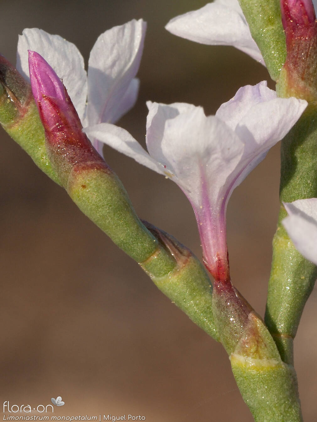 Limoniastrum monopetalum - Flor (close-up) | Miguel Porto; CC BY-NC 4.0