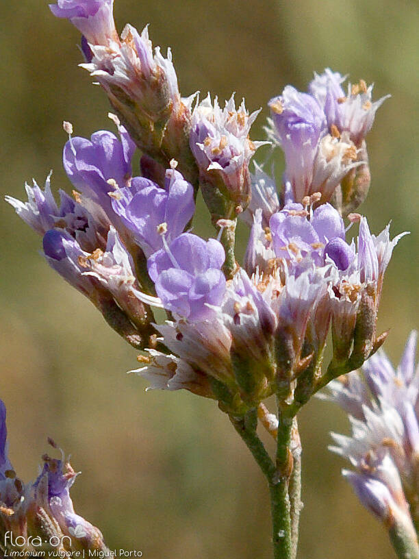 Limonium vulgare - Flor (close-up) | Miguel Porto; CC BY-NC 4.0