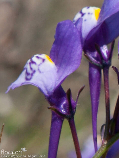 Linaria algarviana - Flor (close-up) | Miguel Porto; CC BY-NC 4.0