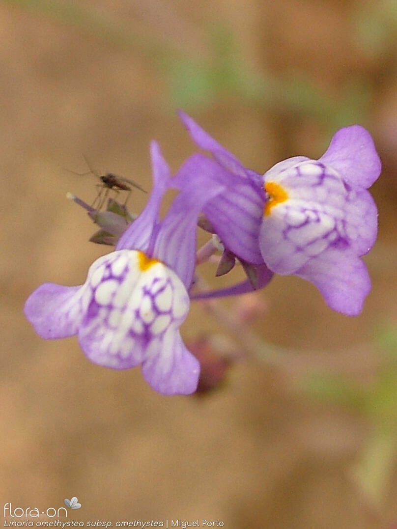 Linaria amethystea amethystea - Flor (close-up) | Miguel Porto; CC BY-NC 4.0