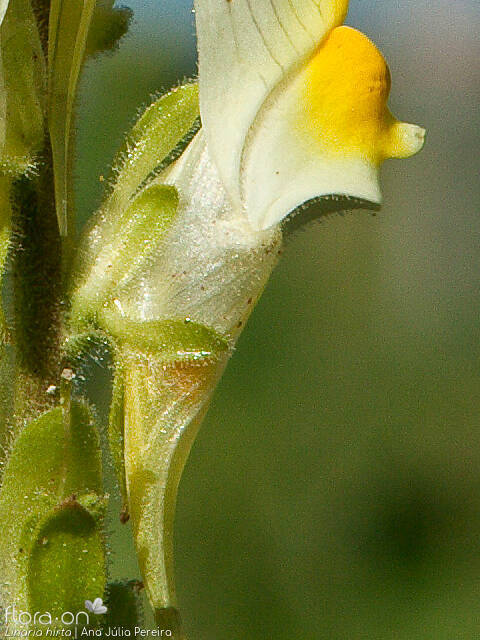 Linaria hirta - Flor (close-up) | Ana Júlia Pereira; CC BY-NC 4.0