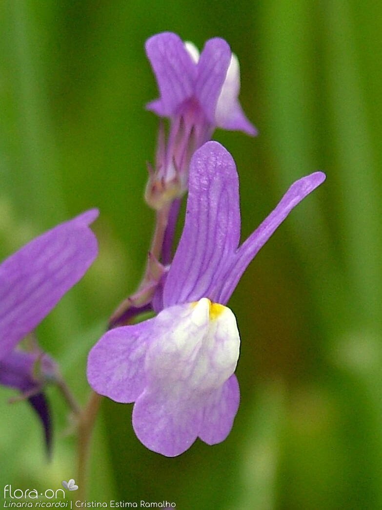 Linaria ricardoi - Flor (close-up) | Cristina Estima Ramalho; CC BY-NC 4.0
