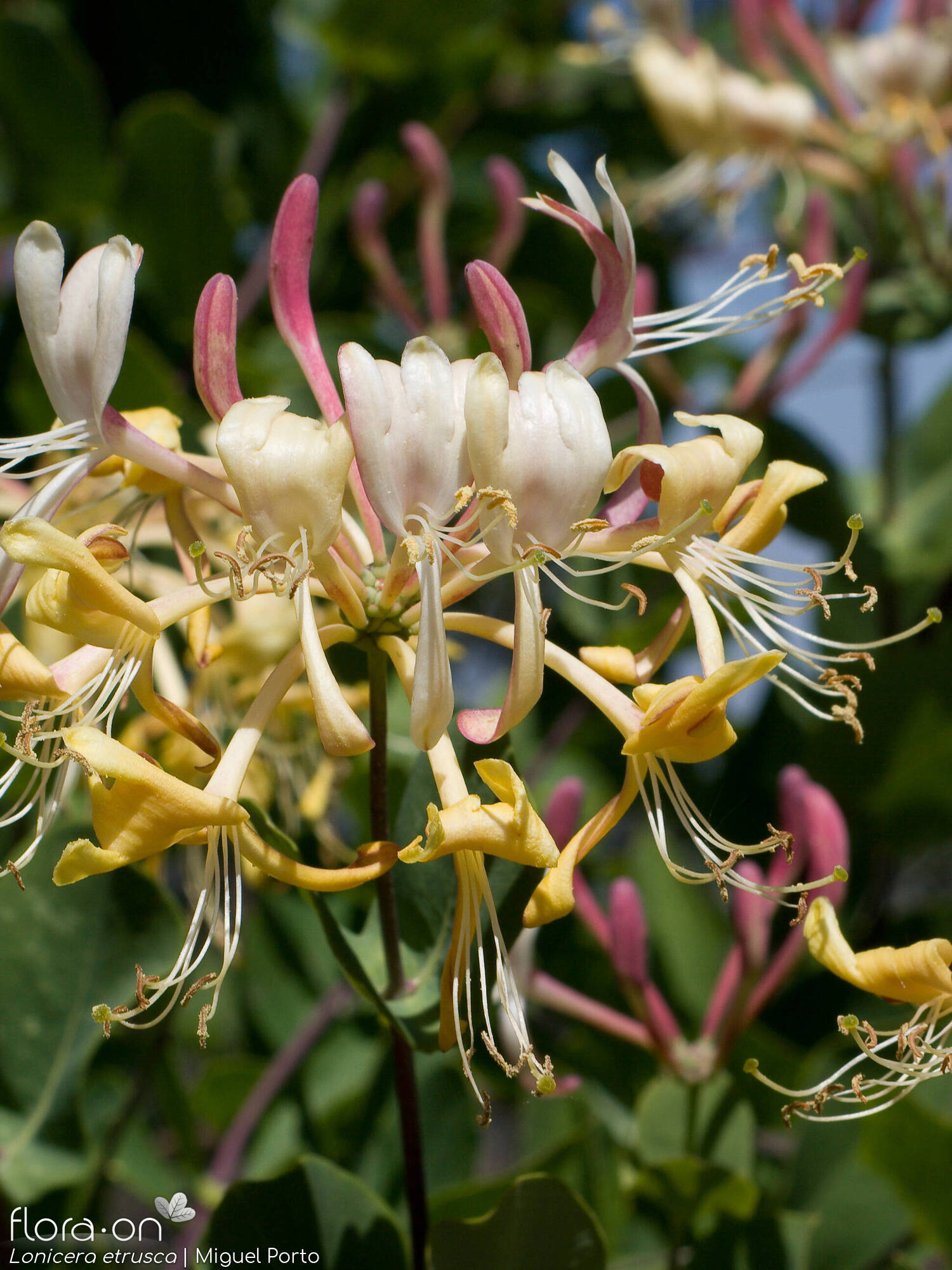 Lonicera etrusca - Flor (geral) | Miguel Porto; CC BY-NC 4.0