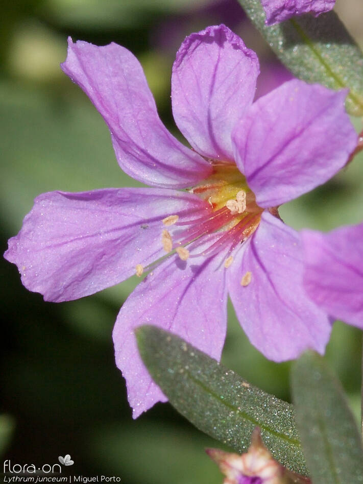 Lythrum junceum - Flor (close-up) | Miguel Porto; CC BY-NC 4.0