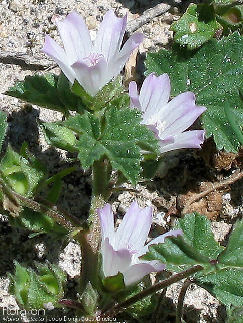 Malva neglecta - Flor (close-up) | João D. Almeida; CC BY-NC 4.0