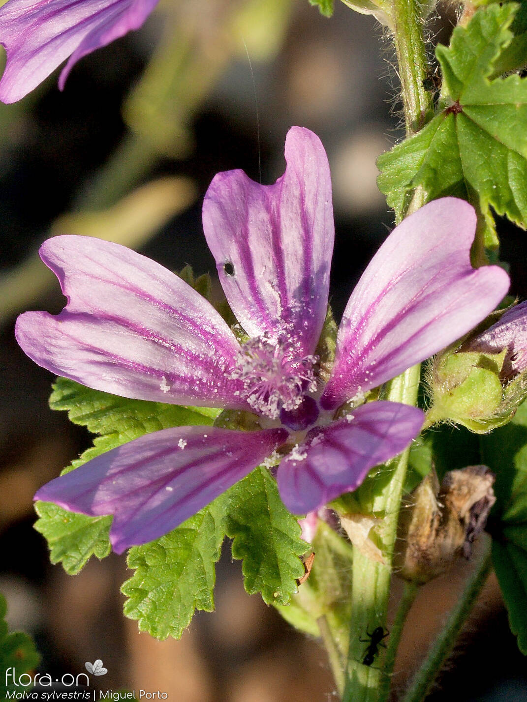 Malva sylvestris - Flor (close-up) | Miguel Porto; CC BY-NC 4.0