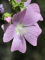 Malva tournefortiana