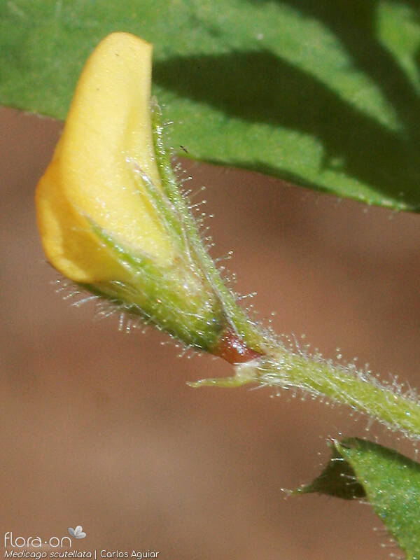 Medicago scutellata - Flor (close-up) | Carlos Aguiar; CC BY-NC 4.0