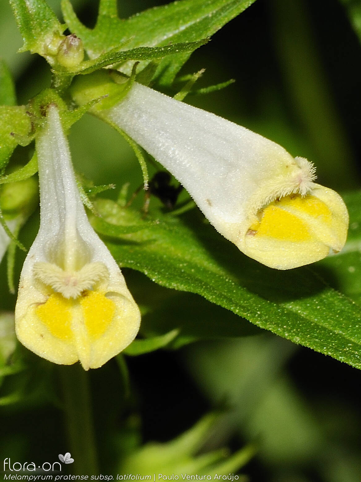 Melampyrum pratense latifolium - Flor (close-up) | Paulo Ventura Araújo; CC BY-NC 4.0