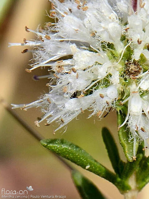 Mentha cervina - Flor (close-up) | Paulo Ventura Araújo; CC BY-NC 4.0