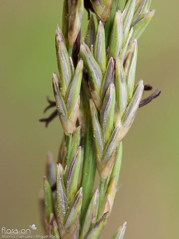 Molinia caerulea - Flor (close-up) | Miguel Porto; CC BY-NC 4.0