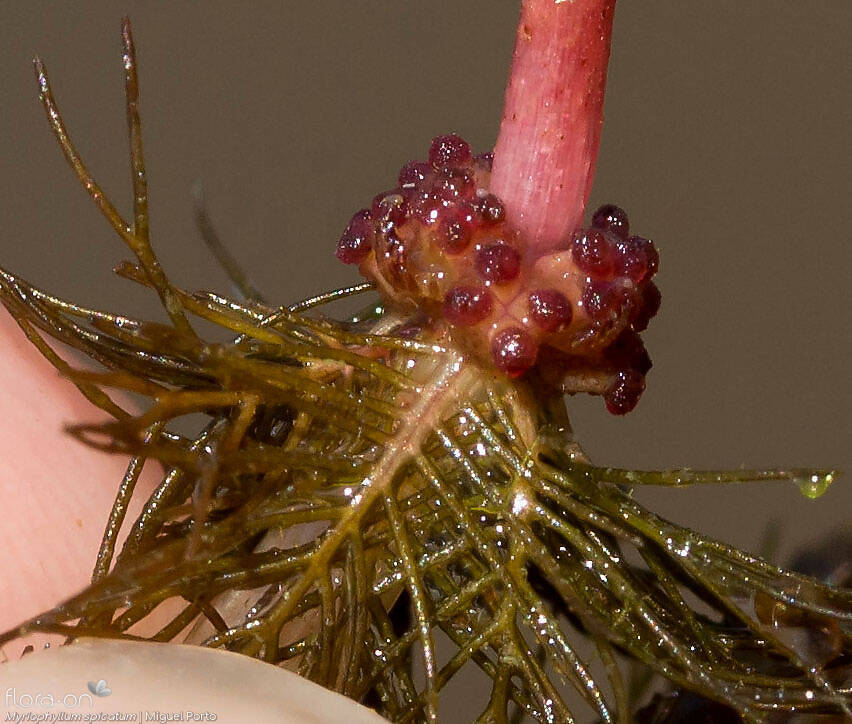 Myriophyllum spicatum - Flor (close-up) | Miguel Porto; CC BY-NC 4.0
