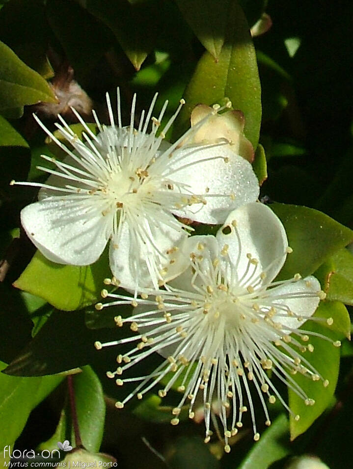 Myrtus communis - Flor (close-up) | Miguel Porto; CC BY-NC 4.0