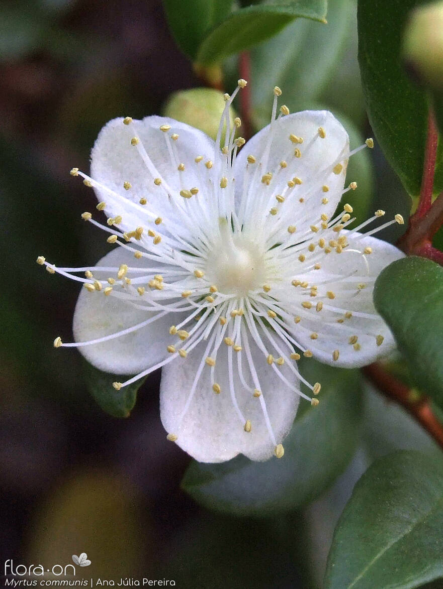 Myrtus communis - Flor (close-up) | Ana Júlia Pereira; CC BY-NC 4.0