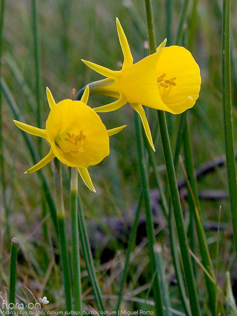 Narcissus bulbocodium bulbocodium - Flor (close-up) | Miguel Porto; CC BY-NC 4.0