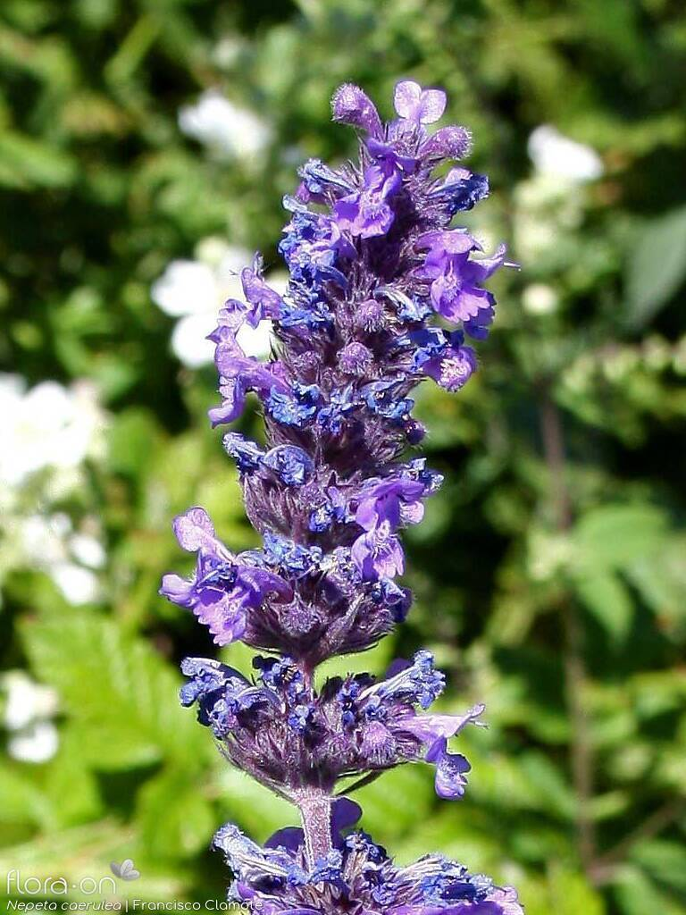 Nepeta caerulea - Flor (geral) | Francisco Clamote; CC BY-NC 4.0
