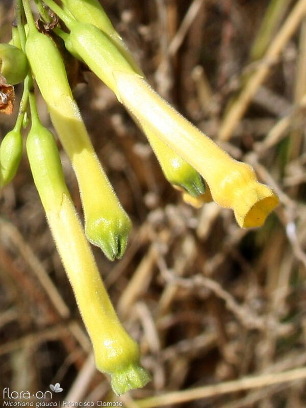 Nicotiana glauca - Flor (close-up) | Francisco Clamote; CC BY-NC 4.0