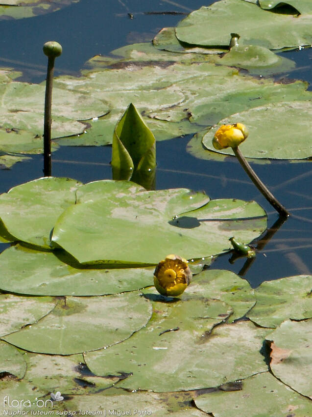 Nuphar luteum luteum - Flor (geral) | Miguel Porto; CC BY-NC 4.0