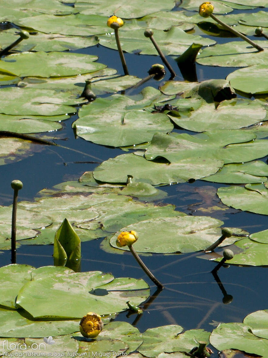 Nuphar luteum luteum - Hábito | Miguel Porto; CC BY-NC 4.0