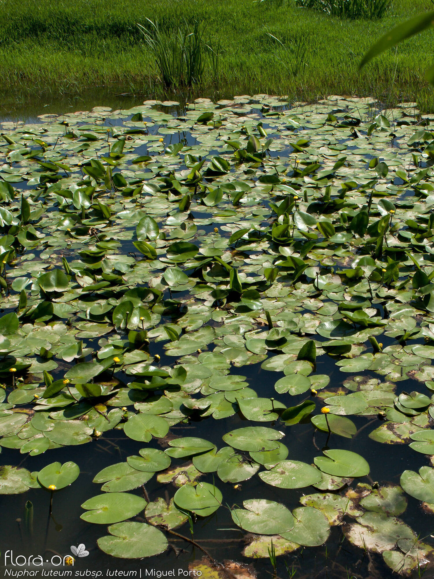 Nuphar luteum luteum - Habitat | Miguel Porto; CC BY-NC 4.0