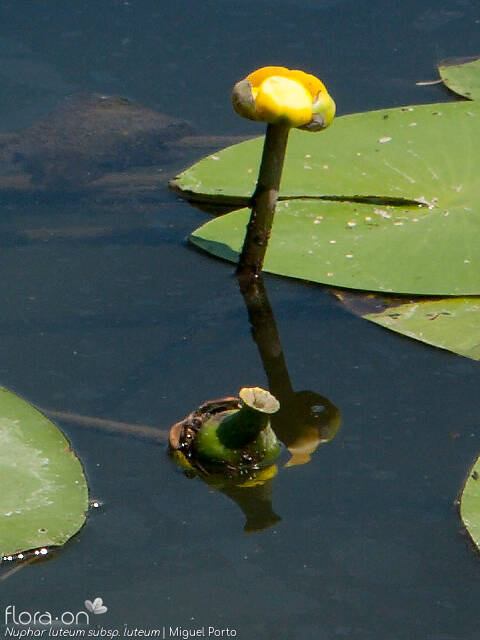 Nuphar luteum luteum - Flor (close-up) | Miguel Porto; CC BY-NC 4.0