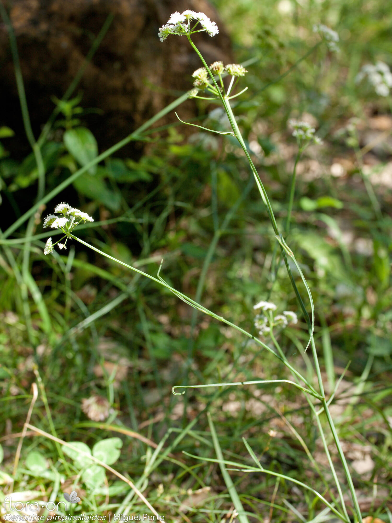 Oenanthe pimpinelloides - Hábito | Miguel Porto; CC BY-NC 4.0