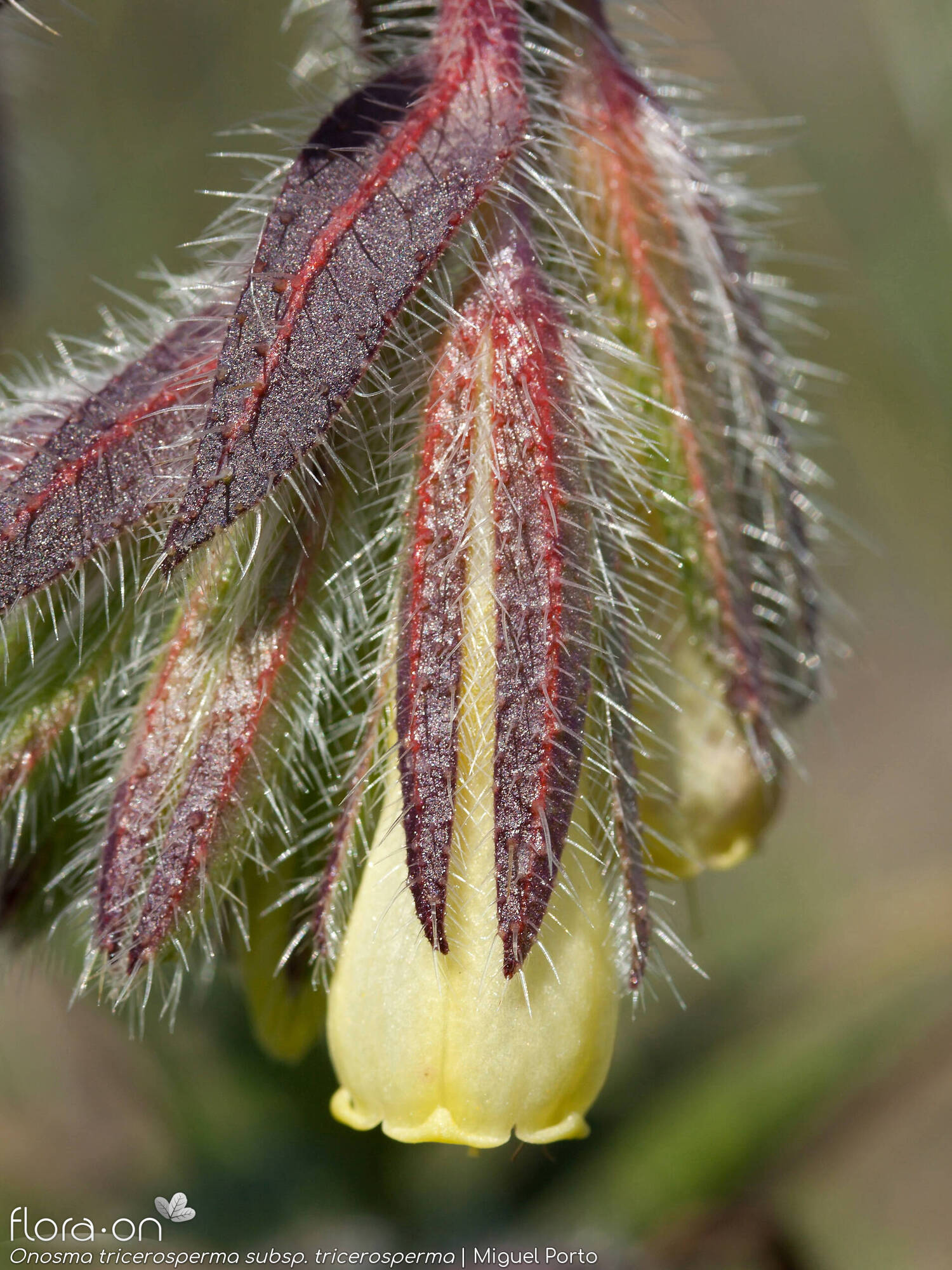 Onosma tricerosperma tricerosperma - Flor (close-up) | Miguel Porto; CC BY-NC 4.0