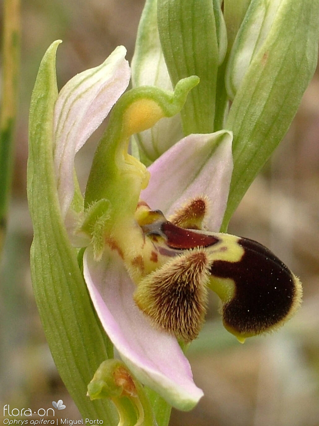Ophrys apifera - Flor (close-up) | Miguel Porto; CC BY-NC 4.0
