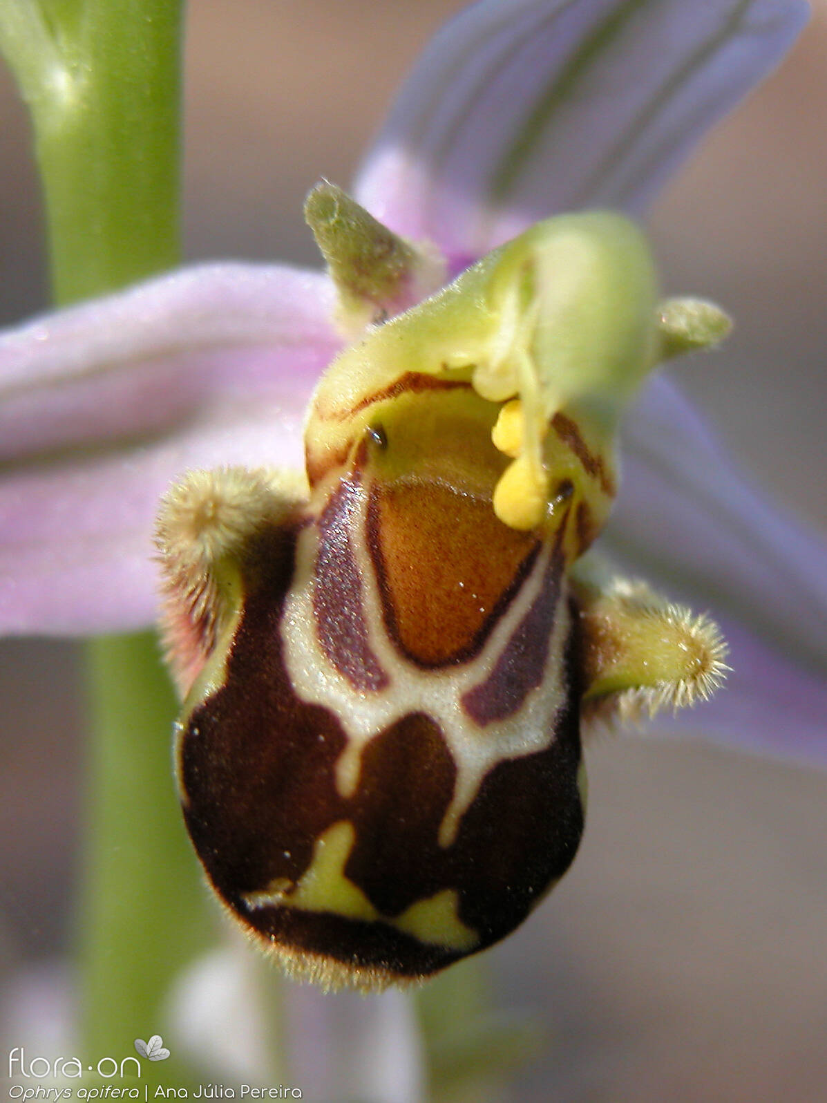 Ophrys apifera - Flor (close-up) | Ana Júlia Pereira; CC BY-NC 4.0