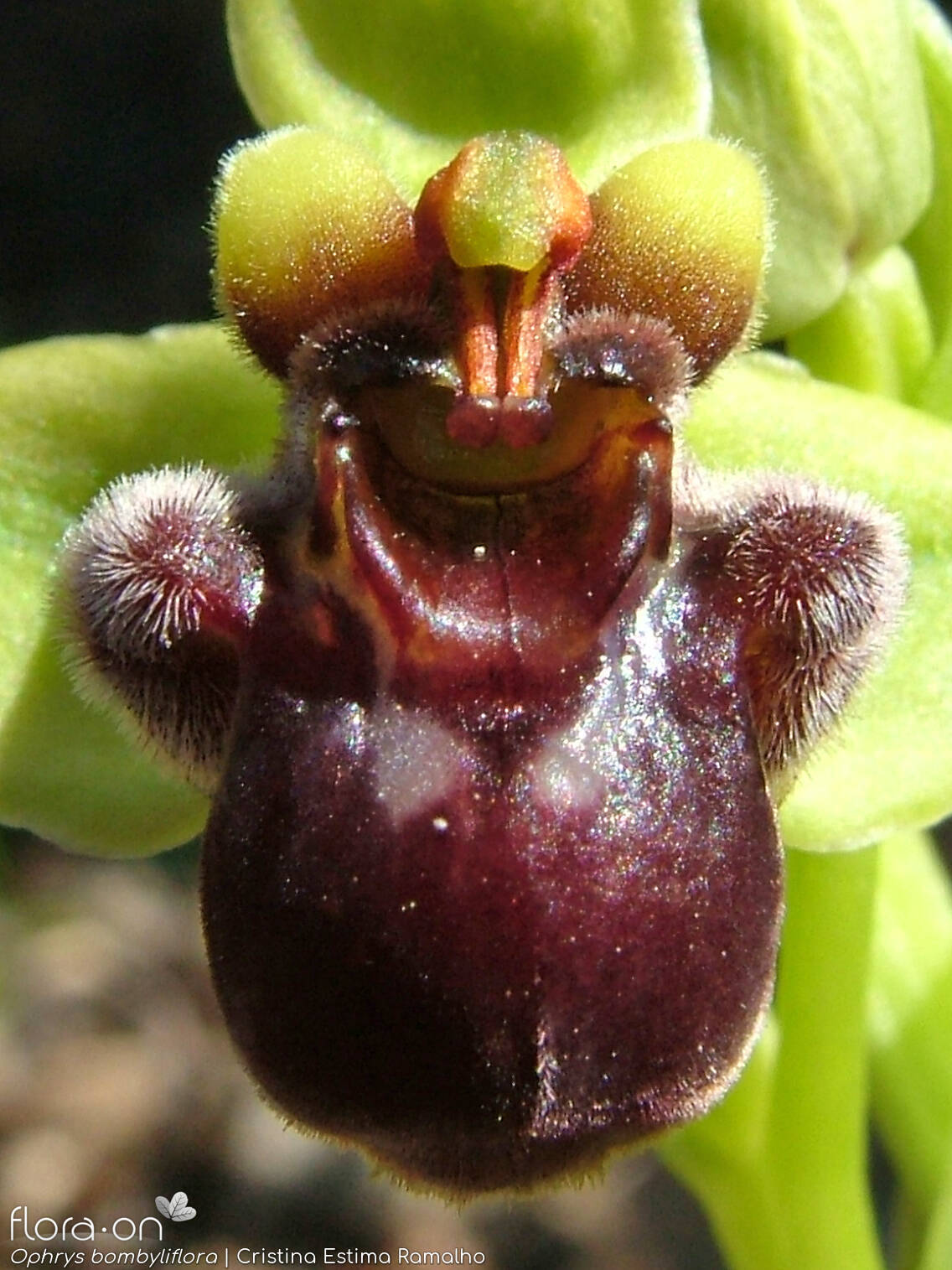 Ophrys bombyliflora - Flor (close-up) | Cristina Estima Ramalho; CC BY-NC 4.0